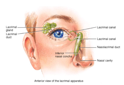 Dacrocystorhinostomy dr chris hornsby ophthalmology medical and image lacrimal apparatus ccuart Gallery